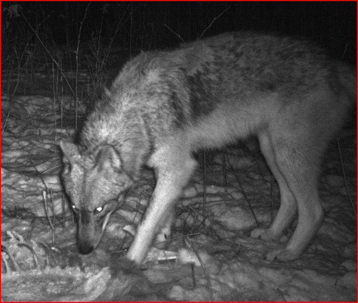 Promenade dans les bois Loup_110