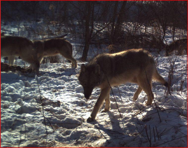 Promenade dans les bois Loup_310