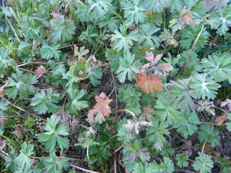 "géranium ou ""mauvaise herbe""? P1260611"