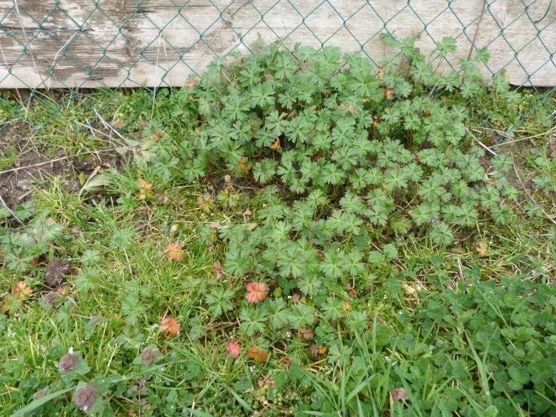 "géranium ou ""mauvaise herbe""? P1270085"