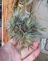 Tillandsia loliacea - Màj 2013 P1090111