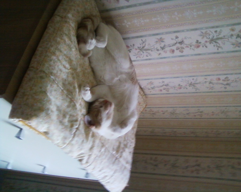 Décibel chaton trigré roux et blanc 5 mois Photos13