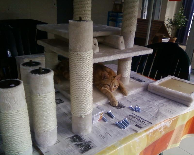 Décibel chaton trigré roux et blanc 5 mois Photos16