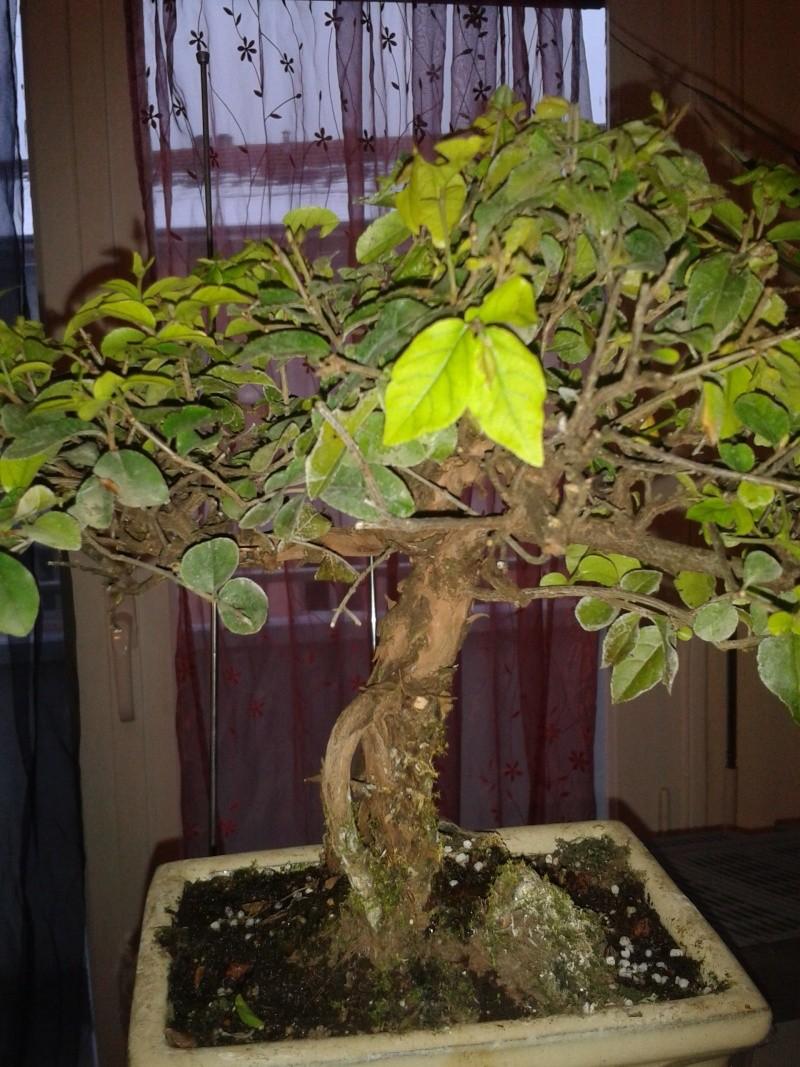 Mon tout premier Bonsai Sageretia 2013-013