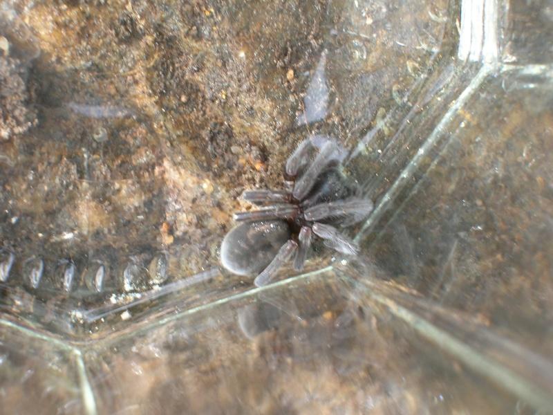 [Amaurobius sp.] Une araignée trouvée Dscn1517