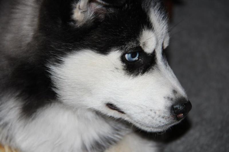 Our new puppy Sasha Sash_s11