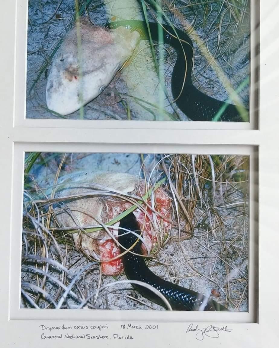 Un serpent se nourrissant sur une tête de requin 21090210