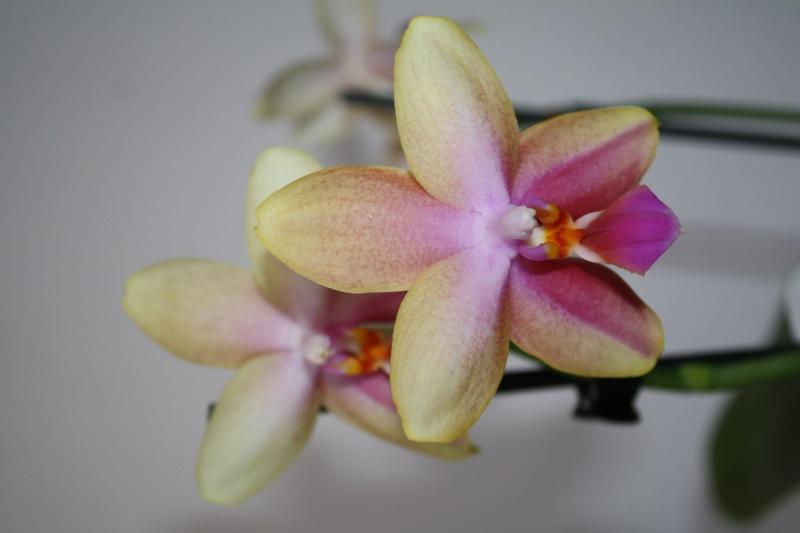 Phalaenopsis Liodoro! - Seite 2 310