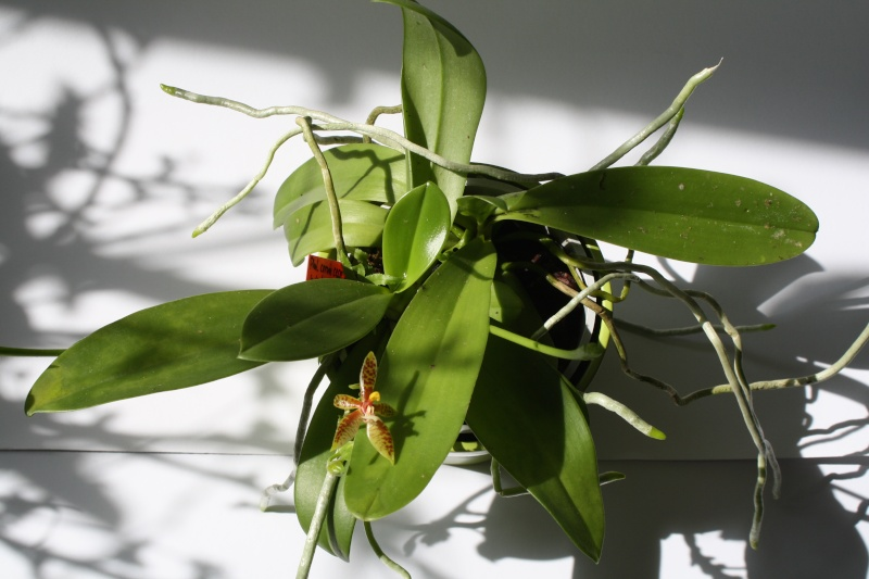 Phalaenopsis cornu-cervi Img_4210