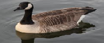 The Birds of Japan Goose11