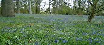 Bluebell Meadow Le_blu10