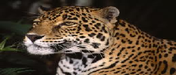 The Mammals of Japan Leopar10