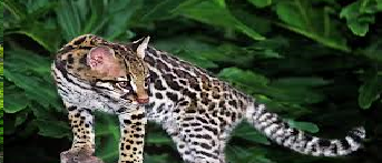The Mammals of Japan Ocelot10