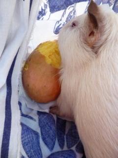 comment soigner mon cochon d'inde? Photos24