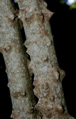 Zanthoxylum americanum Zantho10