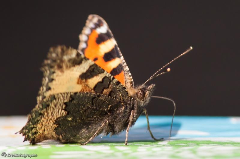 Encore un papillon _mg_9816