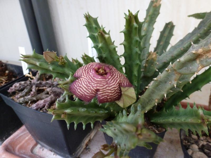 Caralluma: floraison Tomotr10
