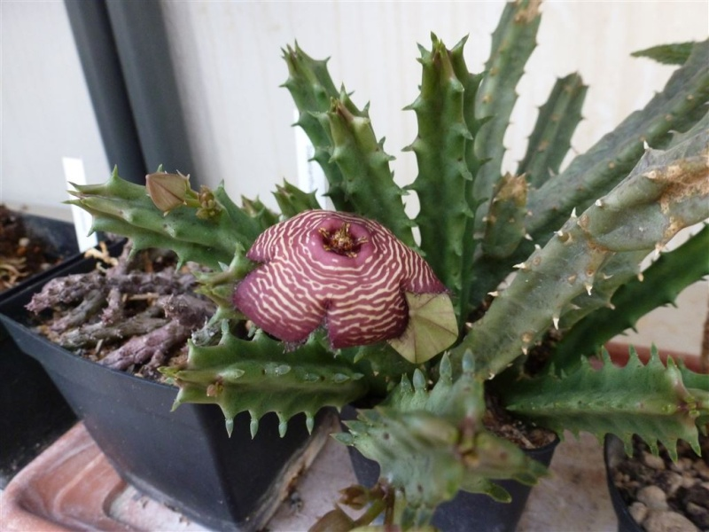 Caralluma: floraison Tomotr11