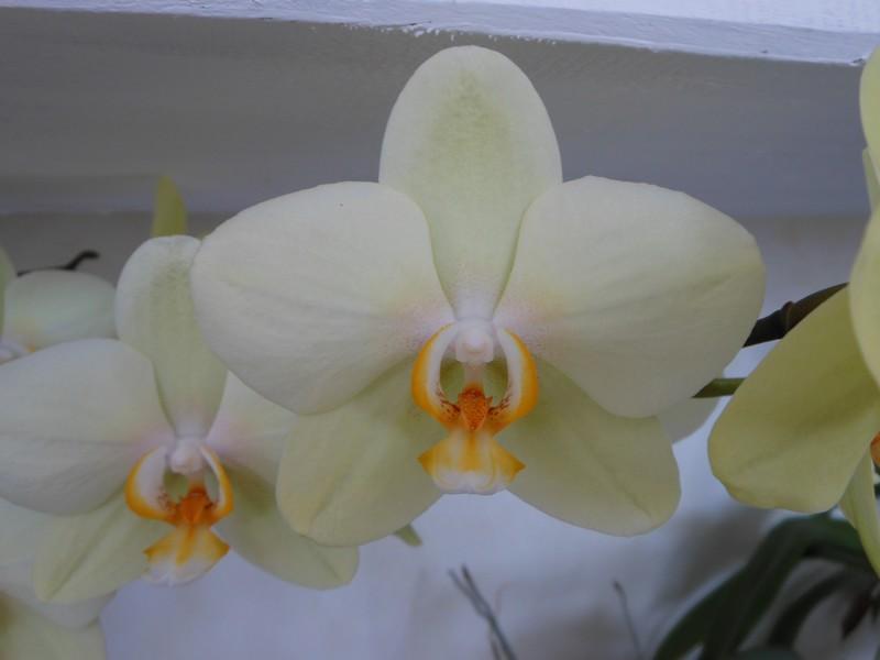 Les orchidées de nounoucaro MAJ 08/05/14 - Page 2 Hybrid12