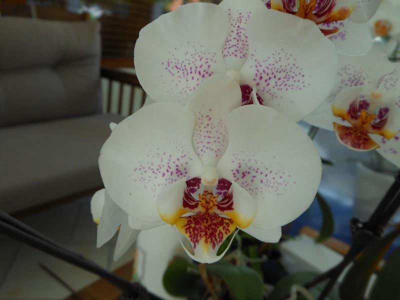 Les orchidées de nounoucaro MAJ 08/05/14 - Page 2 Hybrid15