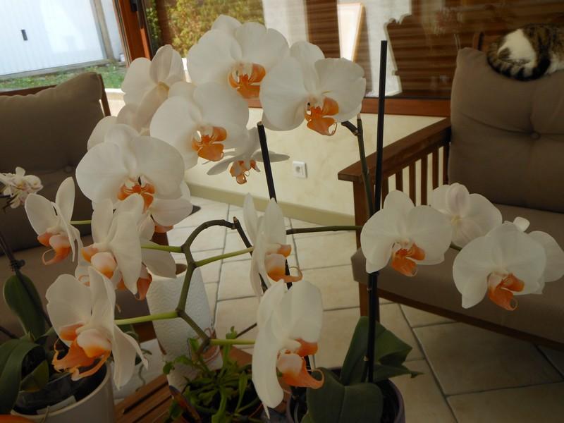 Les orchidées de nounoucaro MAJ 08/05/14 - Page 2 Hybrid17
