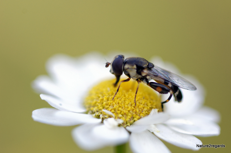 SYRITTA PIPIENS pour confirmation ID 04082012