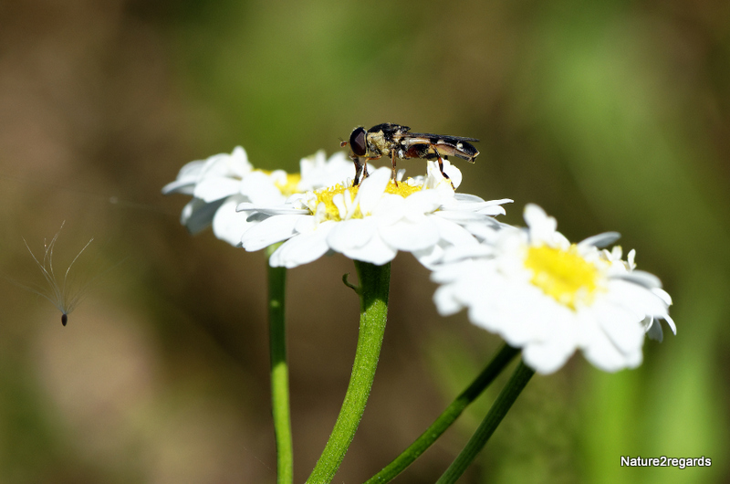 SYRITTA PIPIENS pour confirmation ID 04082013