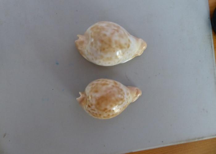 Umbilia_capricornica_capricornica_Lorenz, 1989 Capric17