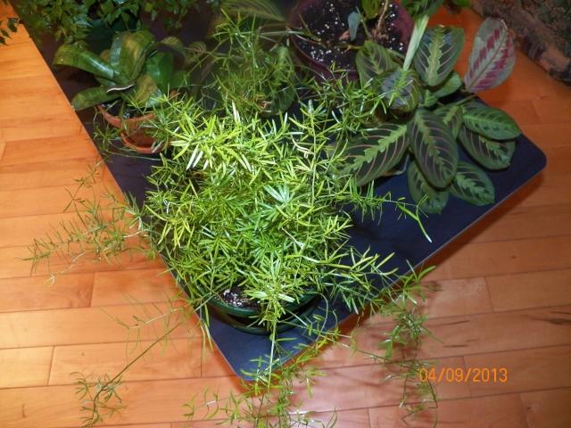 Plantes vertes à identifier correctement et merci pour votre aide :-0) Plante30