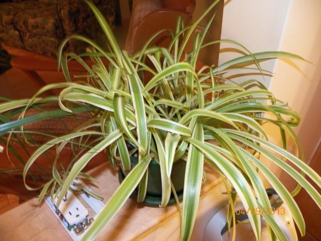 Plantes vertes à identifier correctement et merci pour votre aide :-0) Plante32
