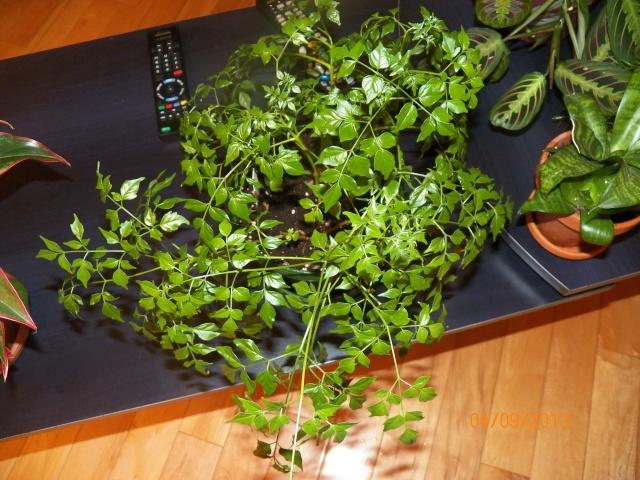 Plantes vertes à identifier correctement et merci pour votre aide :-0) Plante33
