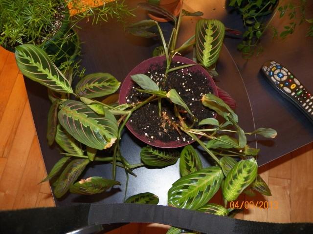 Plantes vertes à identifier correctement et merci pour votre aide :-0) Plante34
