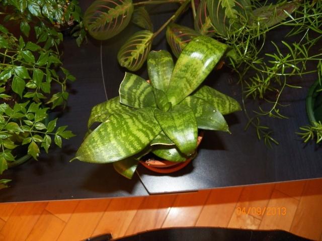 Plantes vertes à identifier correctement et merci pour votre aide :-0) Plante35