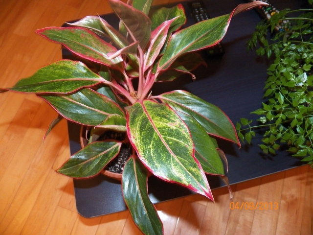 Plantes vertes à identifier correctement et merci pour votre aide :-0) Plante36