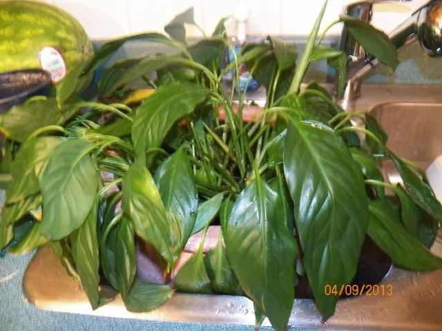 Plantes vertes à identifier correctement et merci pour votre aide :-0) Plante37