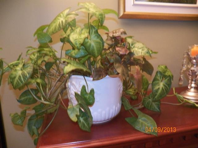 Plantes vertes à identifier correctement et merci pour votre aide :-0) Plante38