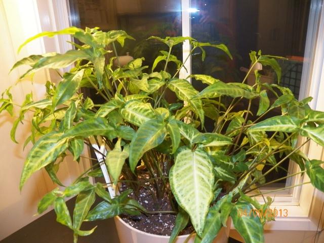 Plantes vertes à identifier correctement et merci pour votre aide :-0) Plante39