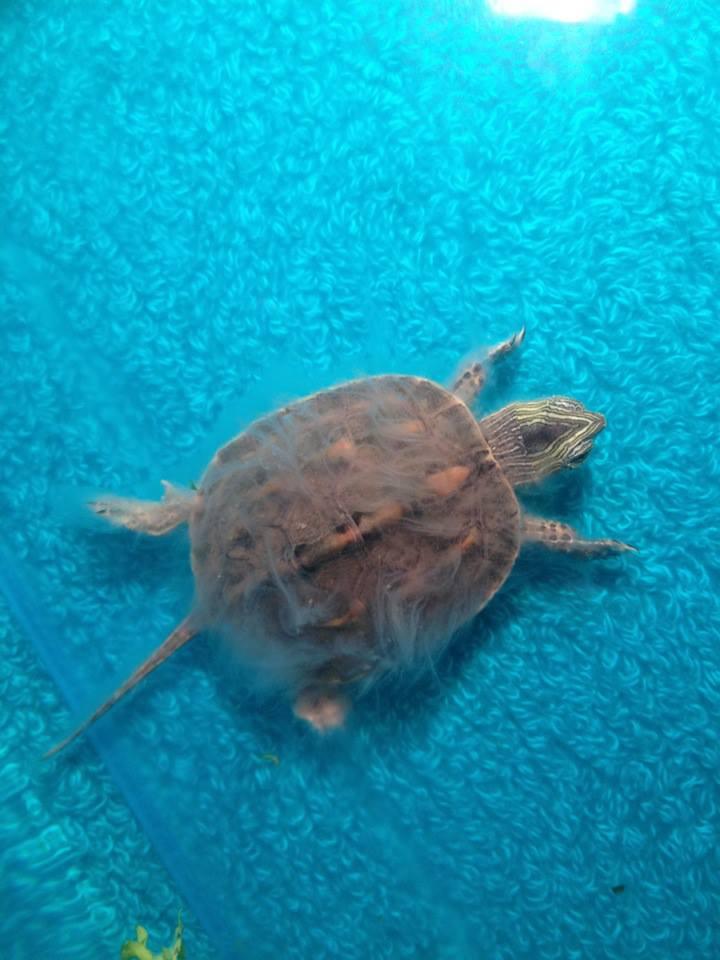 """Urgent : """"Poils"""" blanchâtres autour de ma tortue Tortue11"""