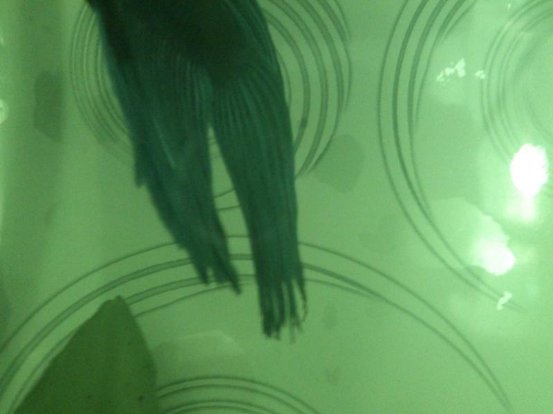 Pourriture nageoire encore , stress du poisson?!!! 06010