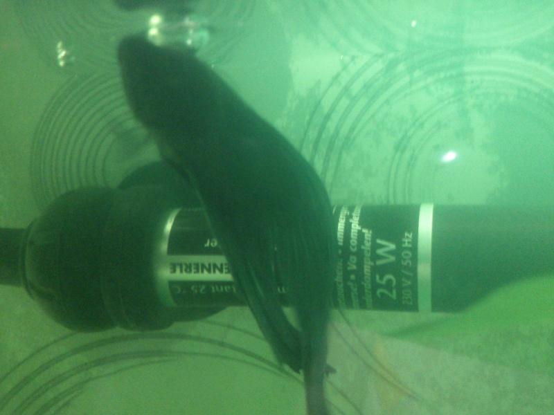 Pourriture nageoire encore , stress du poisson?!!! Dsc_0122