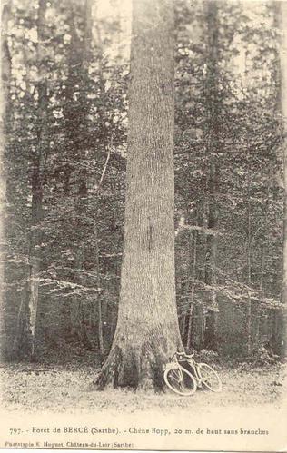 Forêt de Bercé (72) Chane_10