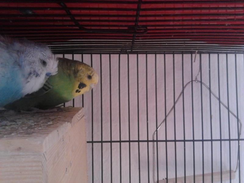 perruche verte et jaune male ou femelle Perruc12