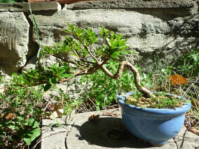Piccola Azalea P1150210