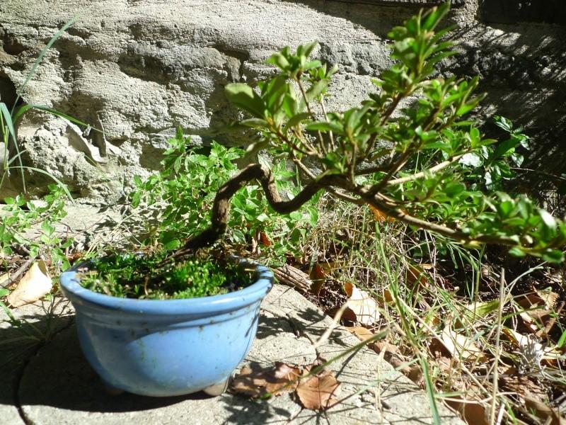 Piccola Azalea P1150211