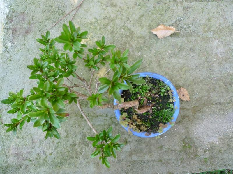 Piccola Azalea P1150212