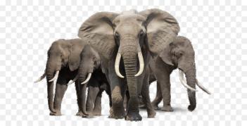Permis de Chasse Juin 2019 Elepha11