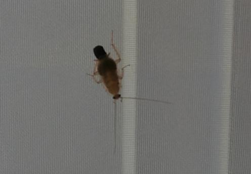 Cherche à identifier un insecte rampant. Vu plusieurs spécimens dans une maison Insect10