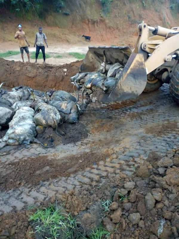 See What Rivers State Did To The 27 Dead Cows Imported Into The State From North 74414410