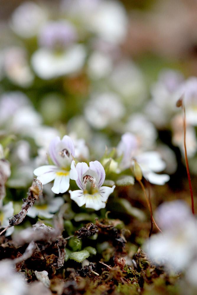 le plein de plantes en Vanoise fin août 03_eup11