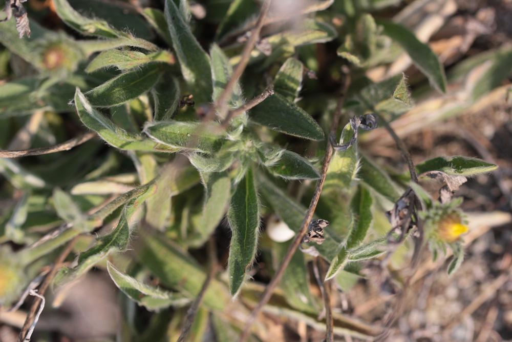 Inula montana et X ? 2019_013